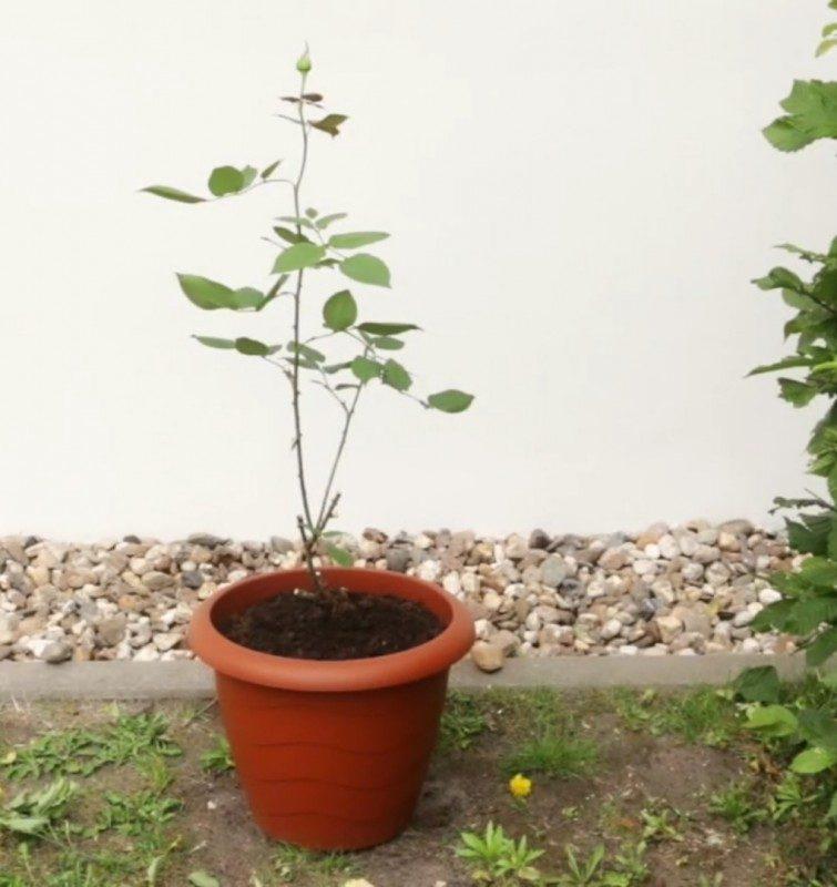 plantando uma roseira